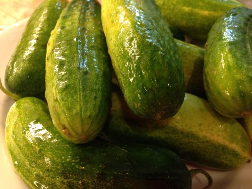 cucumbers for pickling.JPG