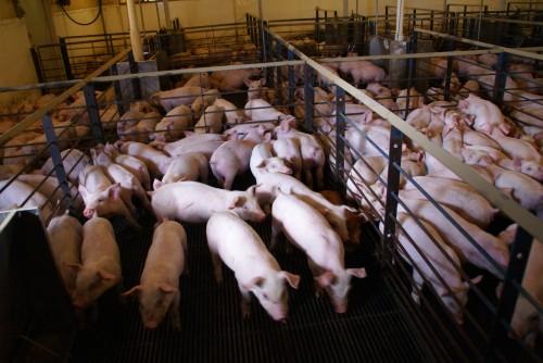 pig farm 2 in pens